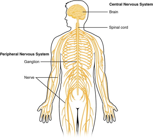Neuroscience, Neurology and the Central Nervous System
