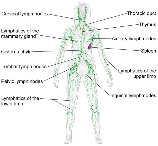 Human Lymphatic System (Female)