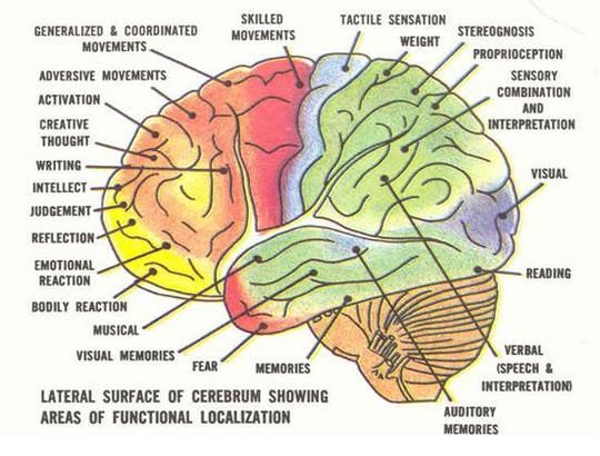 The Human Brain along with Human Behavior