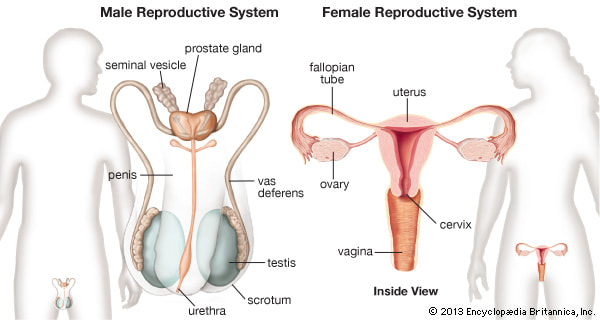 Human Reproduction including the Role of Estrogen an Testosterone